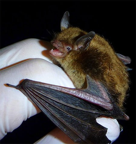 Maine Bat Eviction wants to thank SMBishop, CC BY-SA 3.0 <https://creativecommons.org/licenses/by-sa/3.0>, via Wikimedia Commons