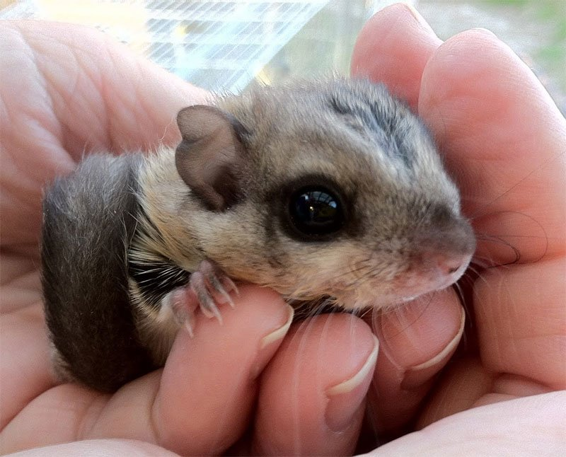 Maine Flying Squirrel Attic Invasion Photo of a baby flying squirrel