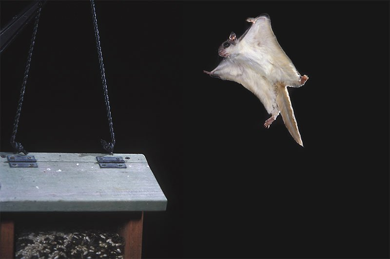 Maine Flying Squirrel Attic Invasion Photo of a flying squirrel in flight