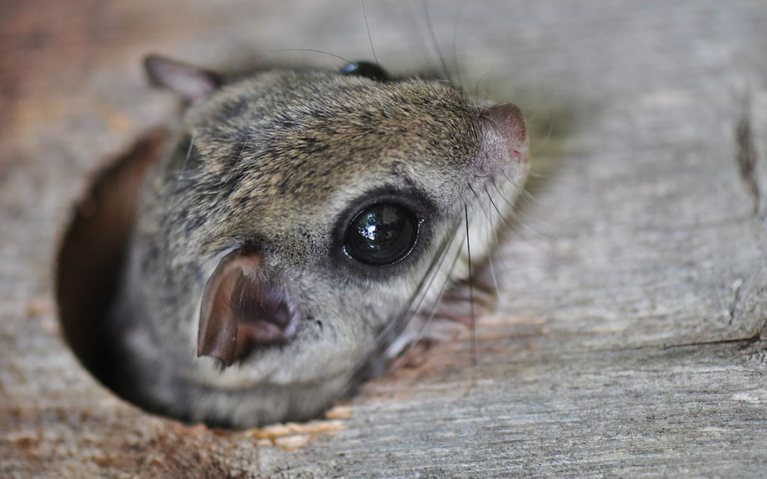 Maine Flying Squirrel Attic Invasion